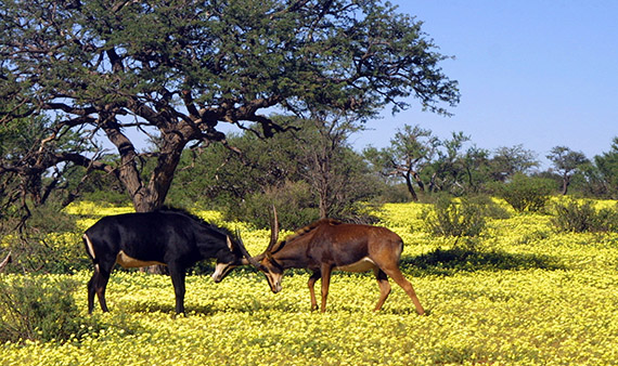 Sable_and_Roan_Antelope_fighting.jpg