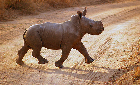 baby_black_rhino.jpg